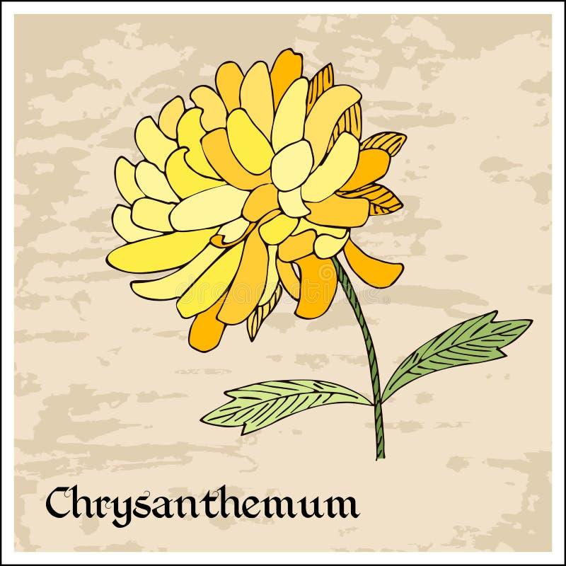черной покрашенная карточкой флористическая радужка цветка белая Красивый красочный цветок хризантемы иллюстрация штока