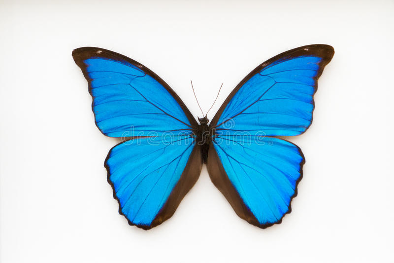 Чернота и синь morpho бабочки стоковое фото