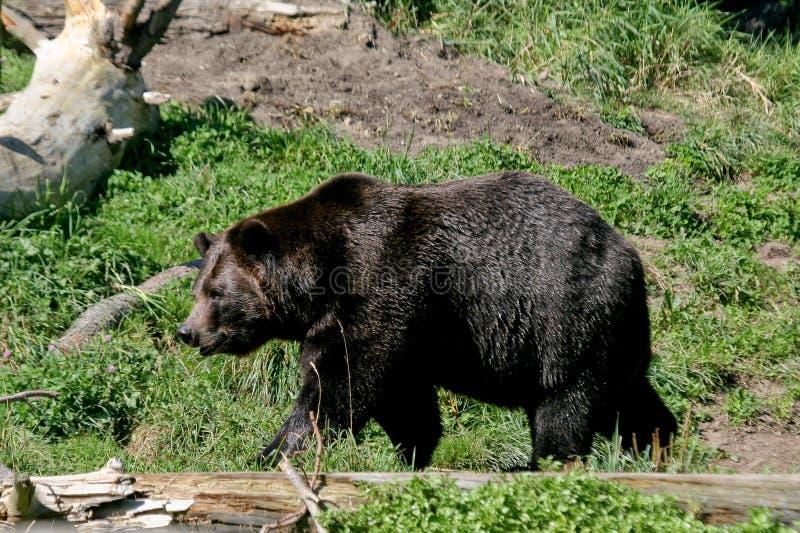 чернота медведя
