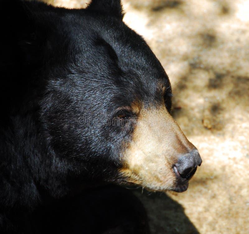 чернота медведя стоковые изображения rf