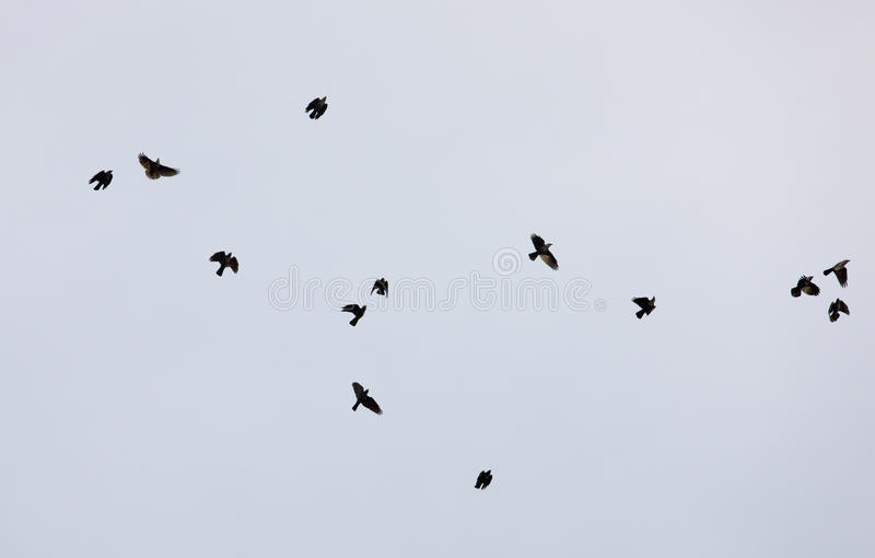 чернота птиц стоковые фотографии rf
