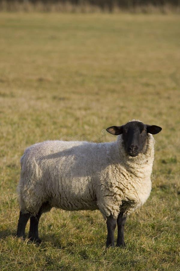 чернота смотрела на овец стоковая фотография rf