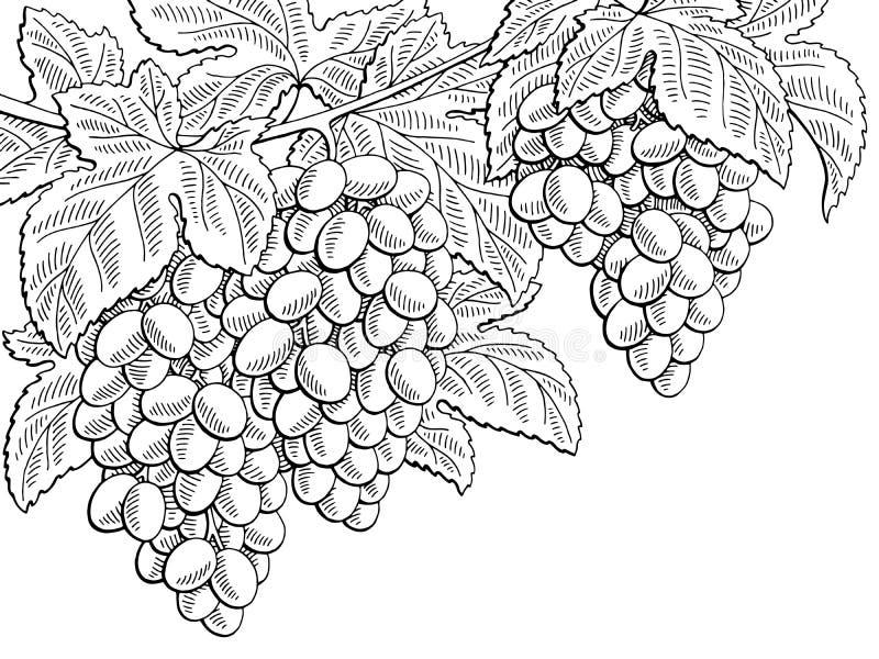 Черноты ветви плодоовощ виноградин иллюстрация эскиза графической белая бесплатная иллюстрация
