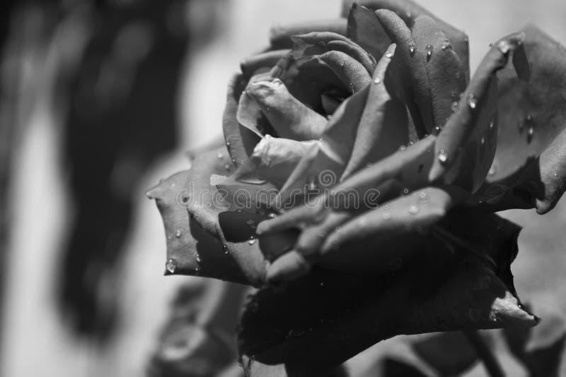 Черно-белая влажная роза смотря на солнце стоковые изображения rf