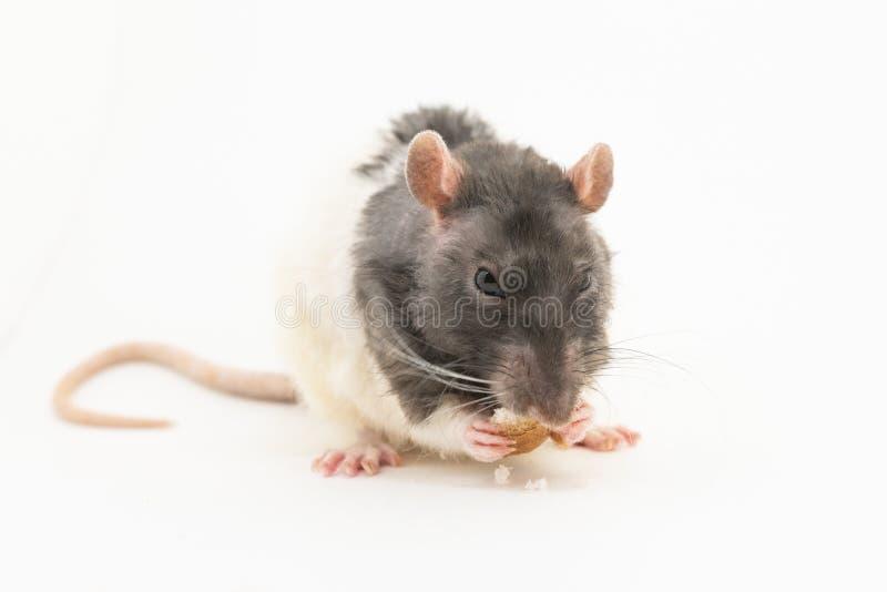 Черно-белая декоративная крыса грызет белый хлеб, на белой предпосылке стоковое изображение