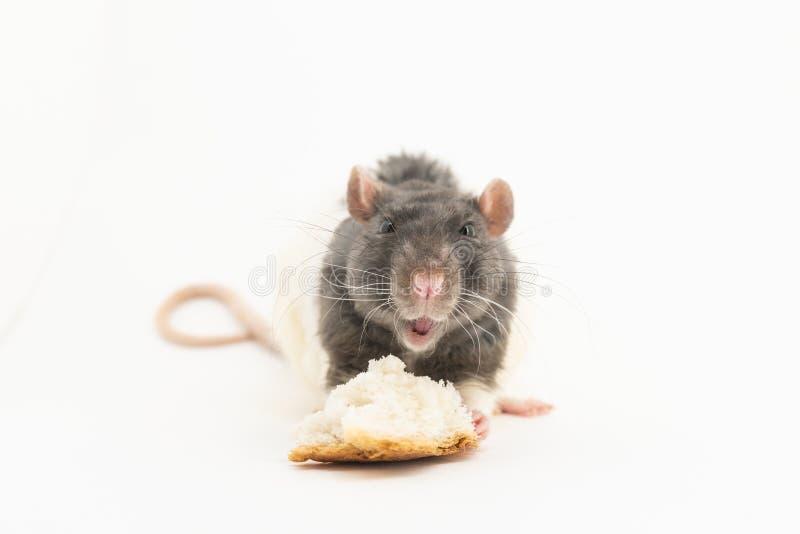 Черно-белая декоративная крыса, достигает для части белого хлеба, на белой предпосылке стоковое фото