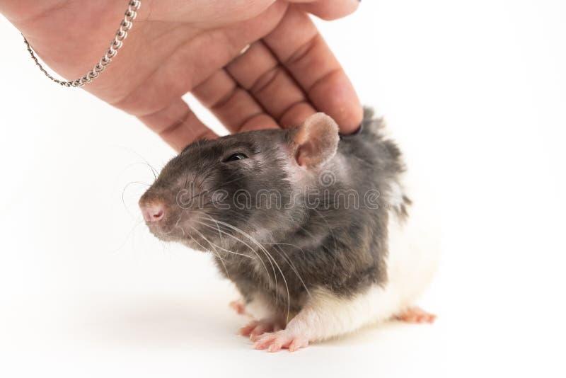 Черно-белая декоративная крыса жмурится с удовольствием когда его штрихуют, против белой предпосылки стоковое изображение