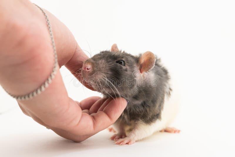 Черно-белая декоративная крыса жмурится с удовольствием когда его штрихуют, против белой предпосылки стоковые фото