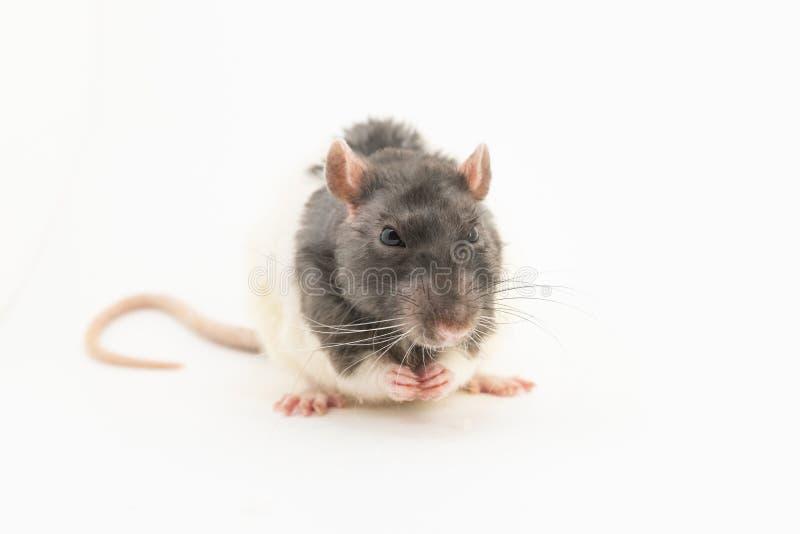 Черно-белая декоративная крыса сидит, схватывающ свои передние ноги, против белой предпосылки стоковые изображения rf