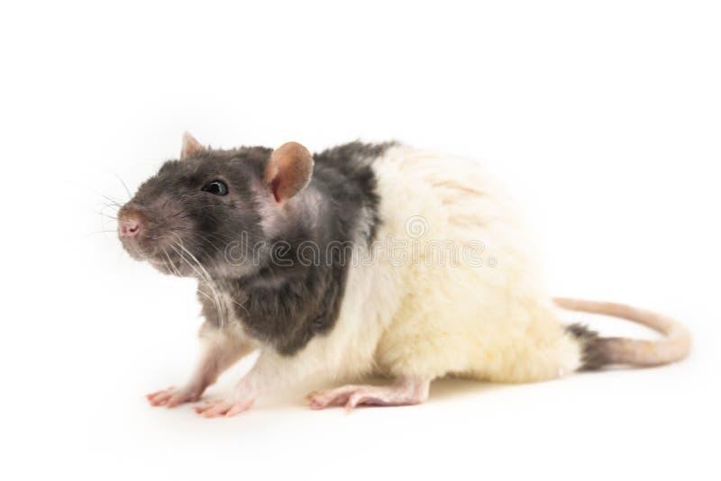 Черно-белая декоративная крыса сидит, с немножко зажмуренными глазами, на белой предпосылке стоковые фото