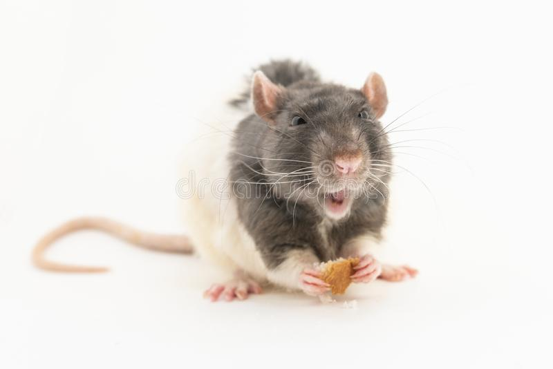 Черно-белая декоративная крыса, с довольным выражением на наморднике, держит часть белого хлеба, на белой предпосылке стоковое фото