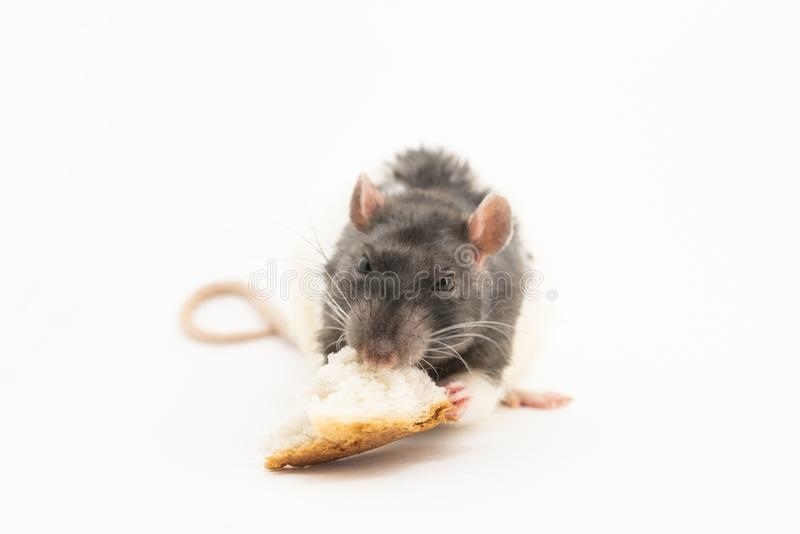 Черно-белая декоративная крыса, с сердитым выражением на его наморднике, ест большую часть белого хлеба стоковые изображения rf