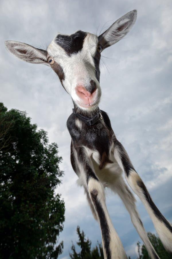 Черно-белая запятнанная коза с розовым носом, съемкой с широкоформатным объективом стоковые изображения rf