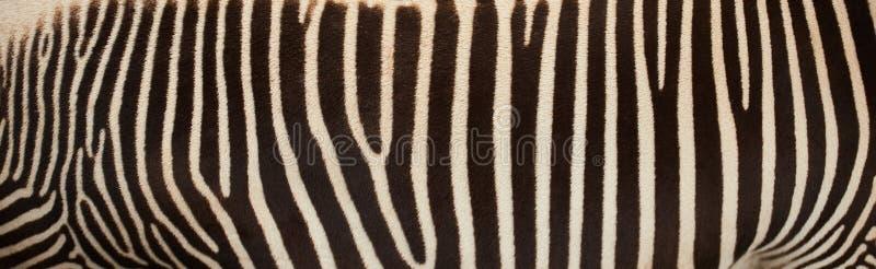 Черно-белая кожа зебры с космосом для текста стоковые фотографии rf