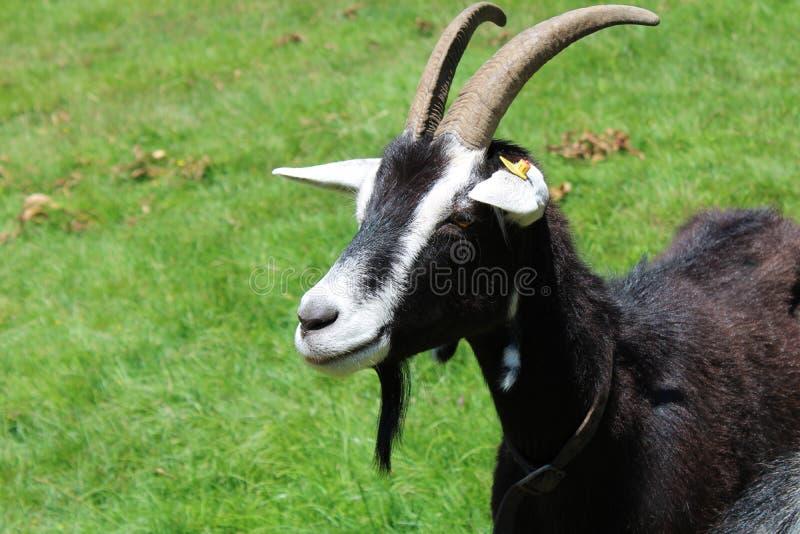 Черно-белая коза в луге животиков стоковое фото rf