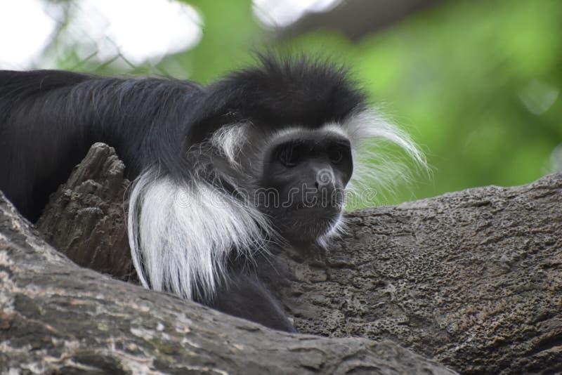 Черно-белая обезьяна Colobus вытаращить в космос стоковое изображение rf