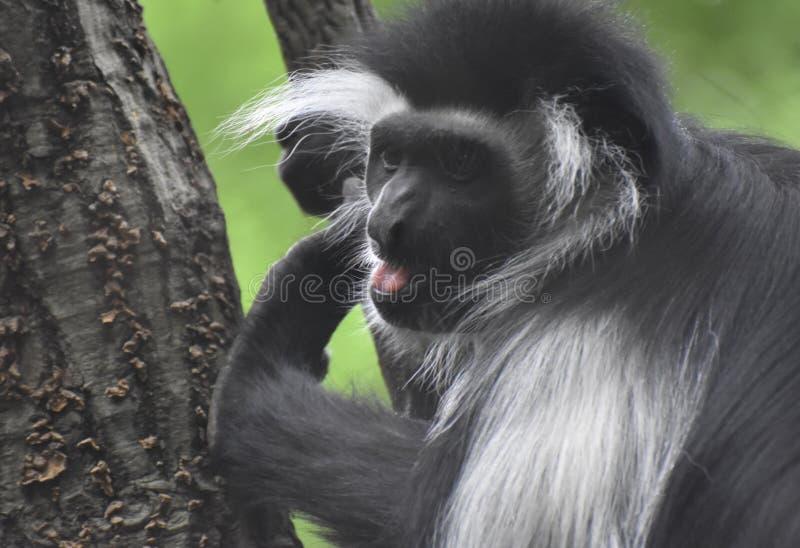 Черно-белая обезьяна Colobus с его ртом открытым стоковое изображение rf