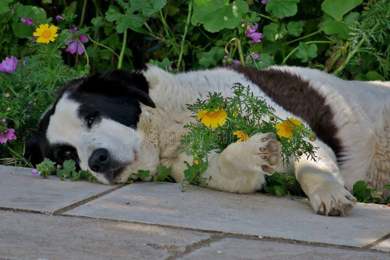 Черно-белая собака отдыхая в траве стоковые изображения rf