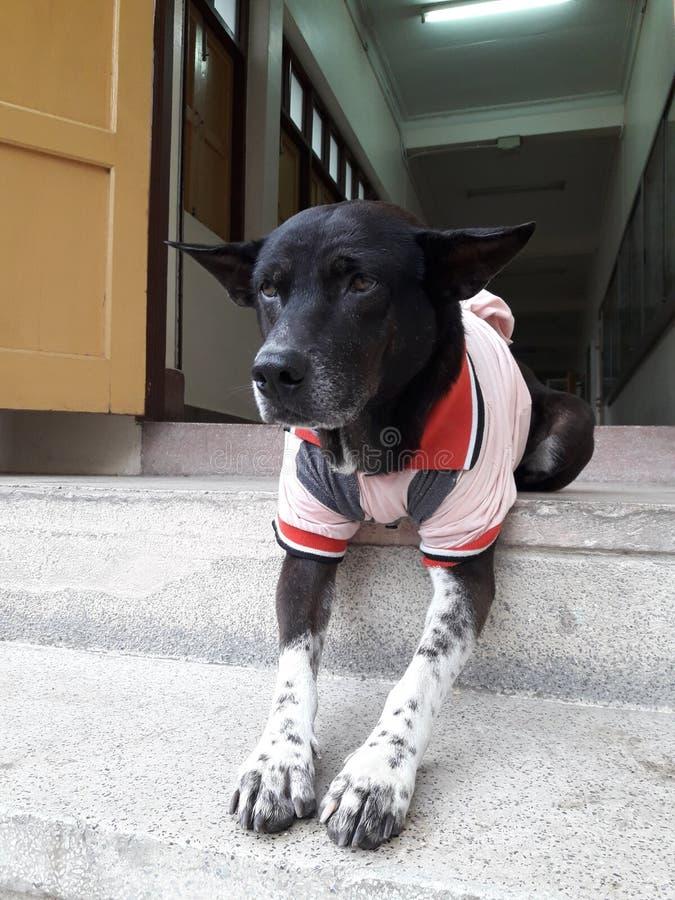 Черно-белая собака с красной рубашкой стоковое фото rf