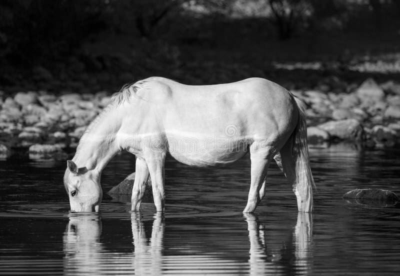 Черно-белое изображение выпивать дикой лошади стоковое изображение