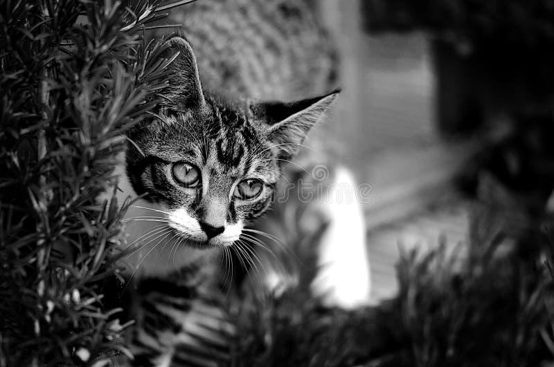 Черно-белое изображение кота стоковые изображения
