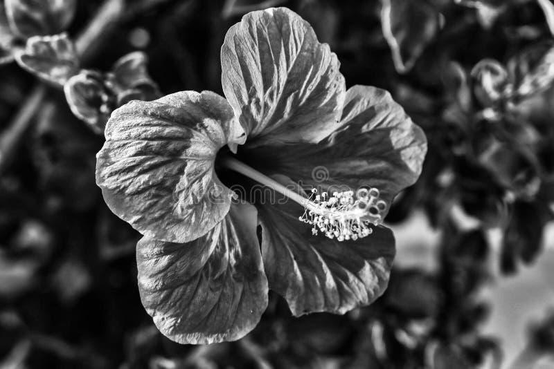 Черно-белое изображение красивого цветка стоковое фото rf