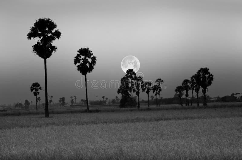 Черно-белое изображение поля риса в вечере стоковые фото