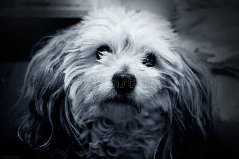 Черно-белое фото собаки пуделя Charley стоковые изображения rf