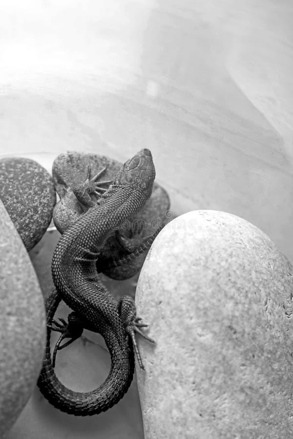 Черно-белое фото ящерицы которая лежит и нагревает на камне стоковое изображение rf