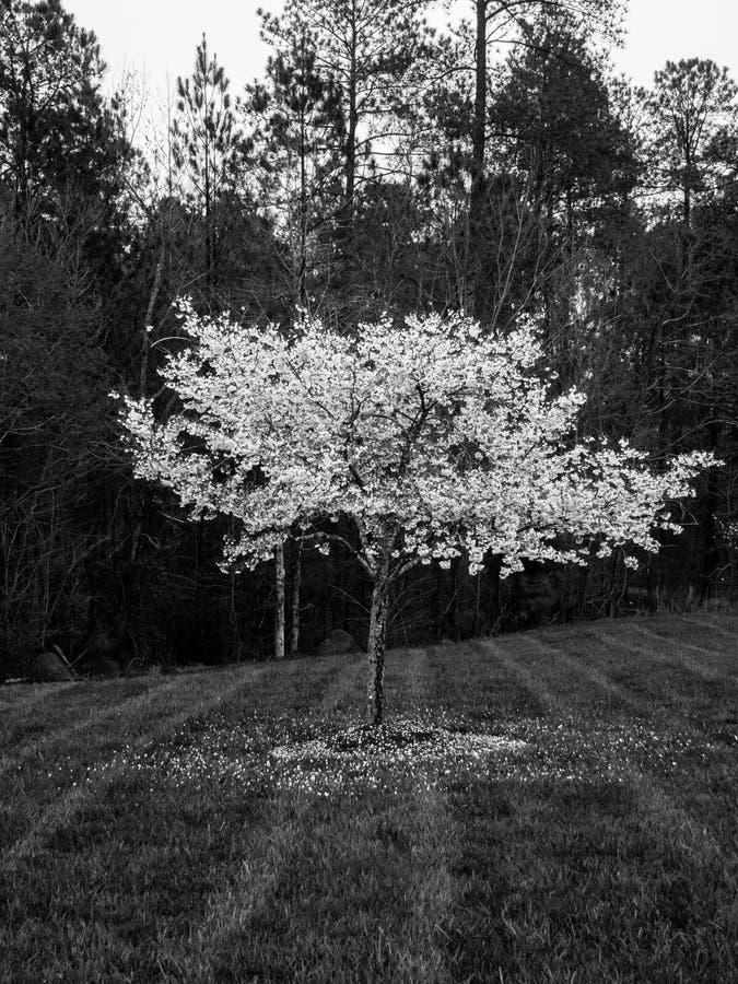 Черно-белое цветение вишневого дерева весной стоковое изображение rf