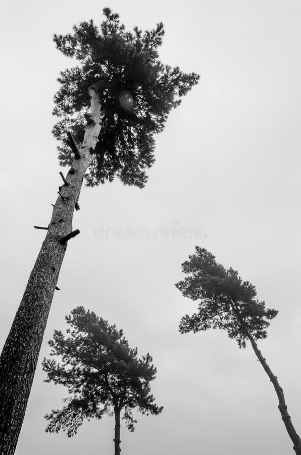 Черно-белые 3 дерева стоковая фотография rf