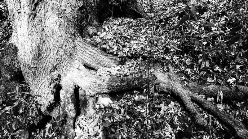 Черно-белые корни дерева стоковая фотография rf