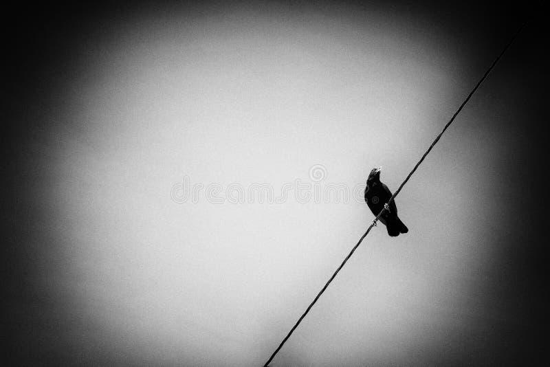 Черно-белый ворон, рамка стоковое фото