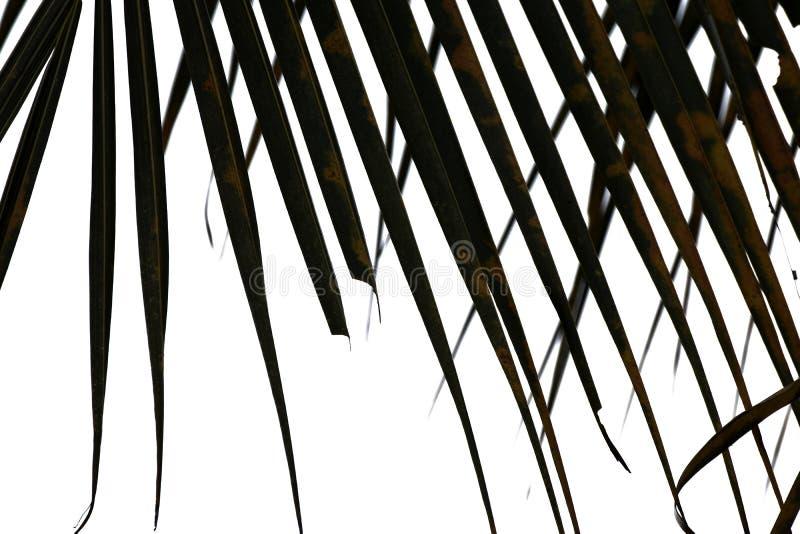 черно-белый высушите кокосовую пальму листьев на белой предпосылке стоковые фотографии rf