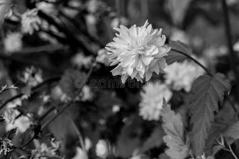 Черно-белый зацветая цветок одуванчика стоковая фотография