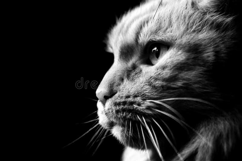 Черно-белый конец-вверх кота енота Мейна в профиле стоковые изображения