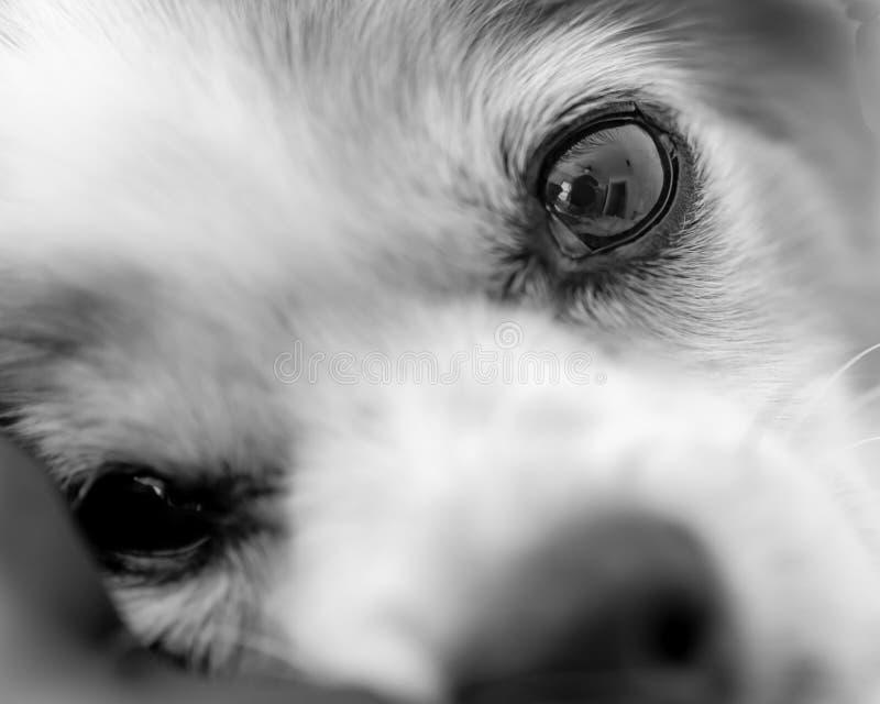 Черно-белый конец стороны собаки стоковое фото rf