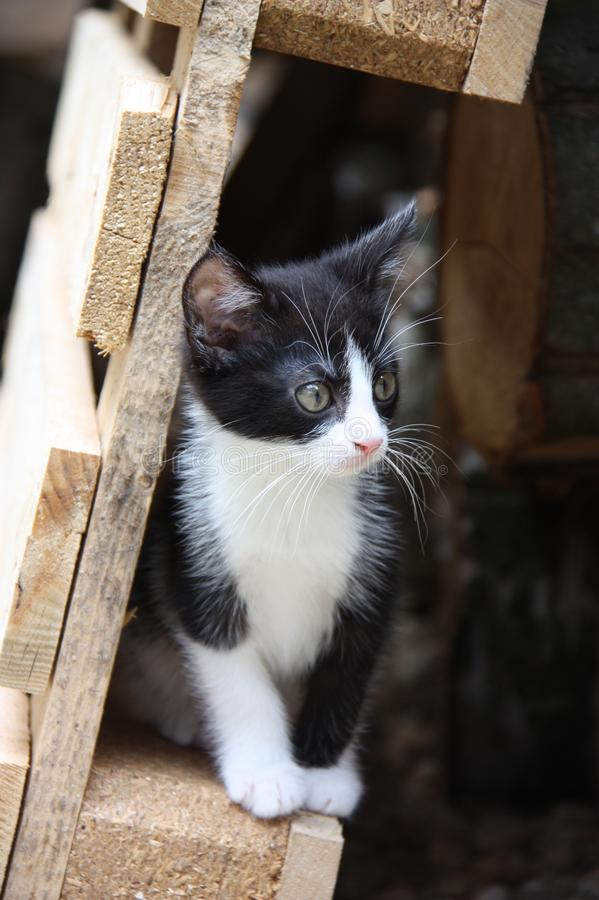 Черно-белый котенок стоковые изображения rf