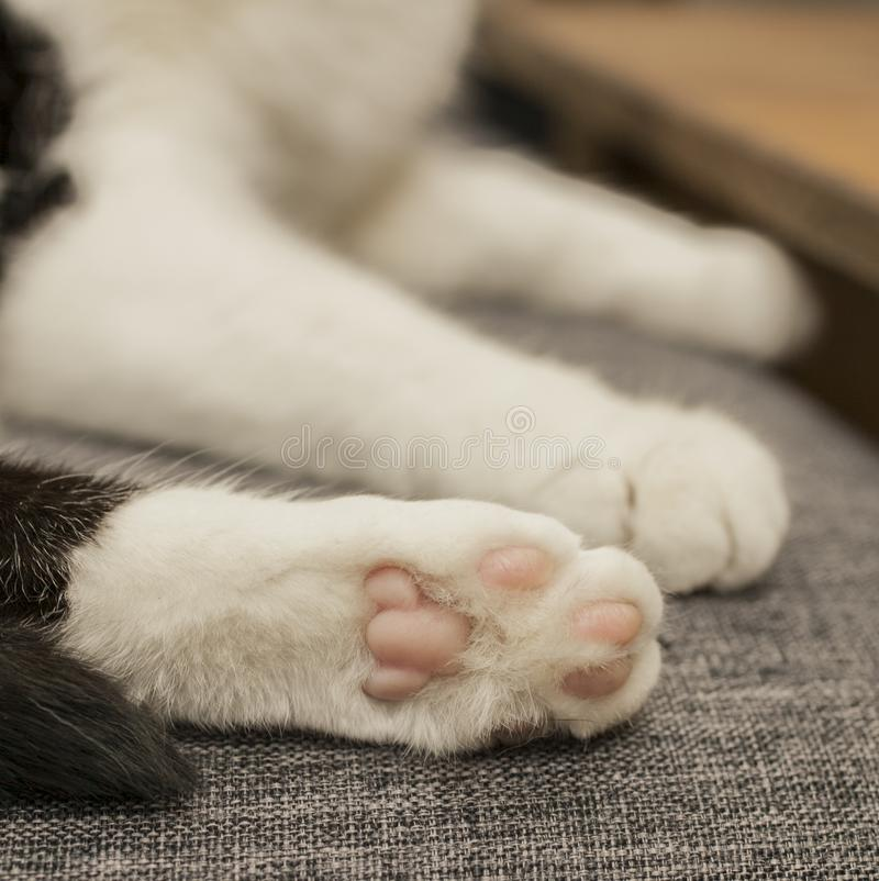 Черно-белый кот - белые лапки стоковые изображения rf