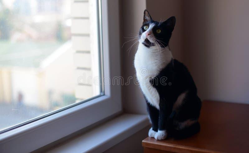 Черно-белый кот сидя около окна стоковые фотографии rf