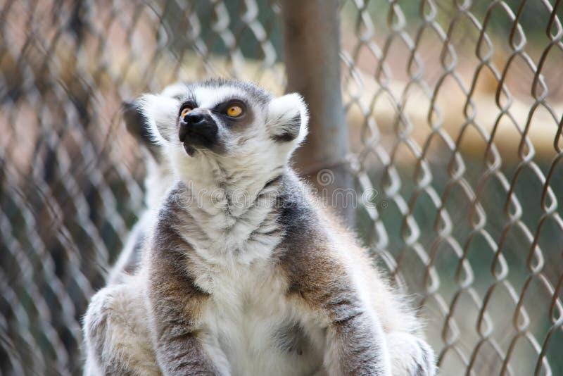 Черно-белый лемур смотря вверх, приматы strepsirrhine ночные стоковая фотография rf