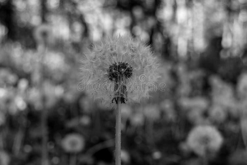 Черно-белый макрос одуванчика стоковые фото
