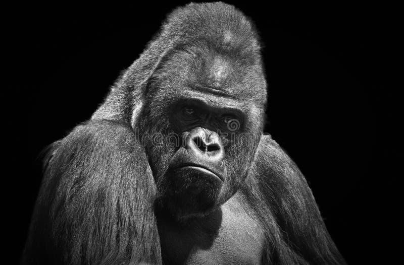 Черно-белый портрет взрослой мужской гориллы стоковые фотографии rf