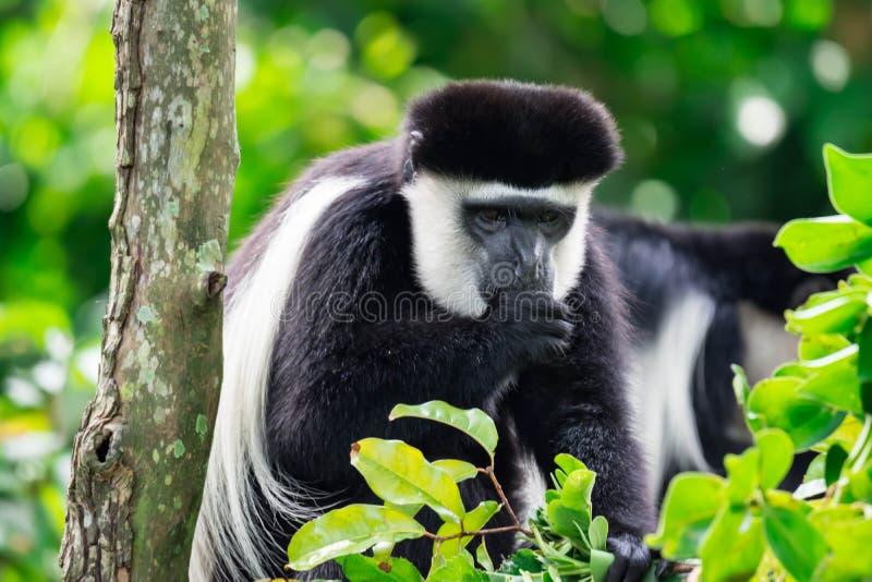 Черно-белый сосать и curio большого пальца руки обезьяны colobus colobuses стоковые фото