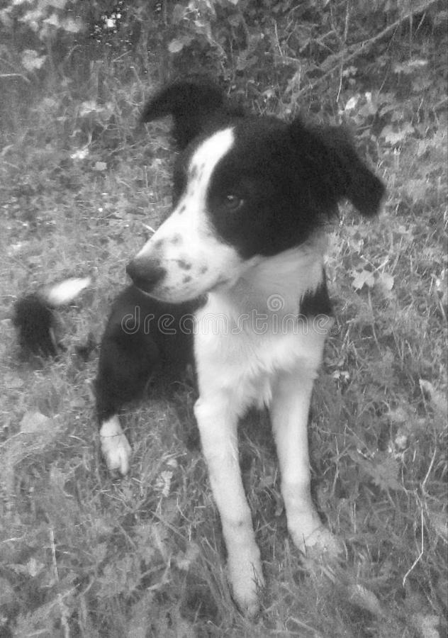 Черно-белый щенок Коллиы стоковое изображение