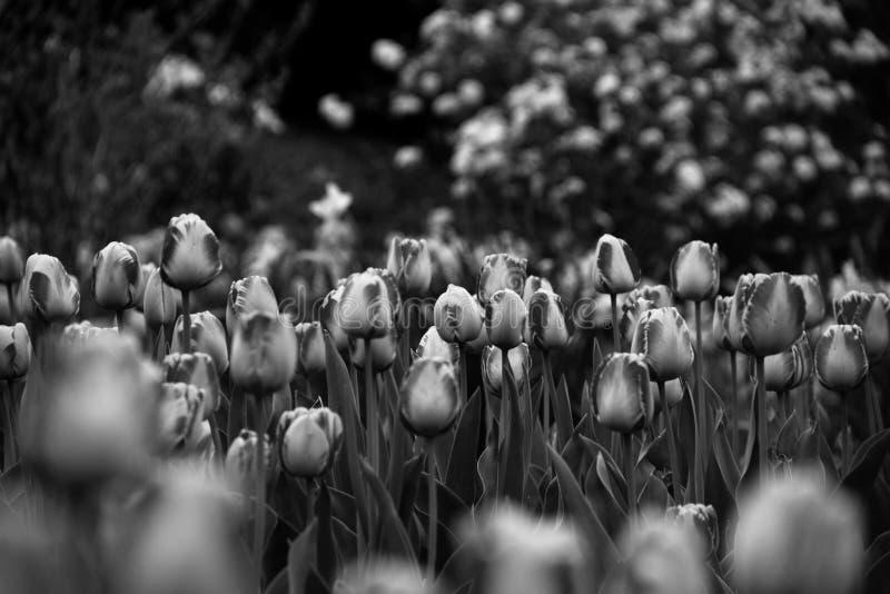 Черно-белая весна стоковая фотография rf