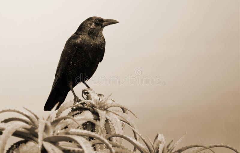 Черно-белая ворона на Succulent стоковое изображение