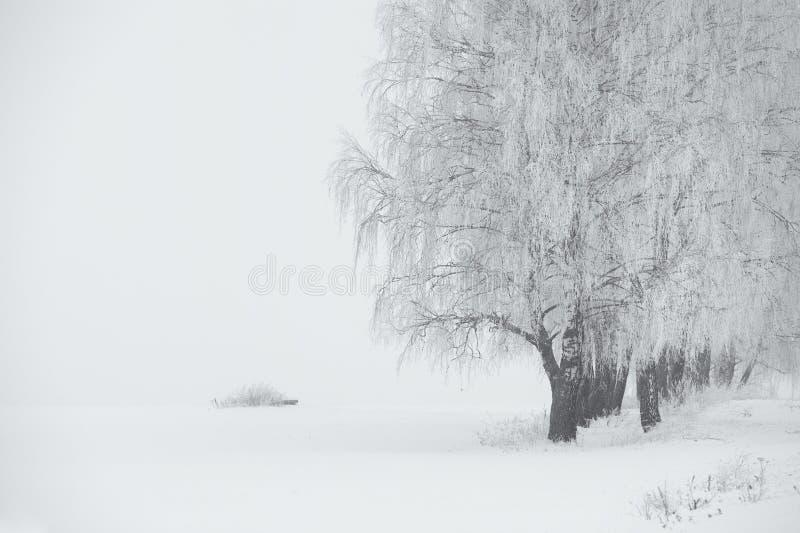 Черно-белая зима Деревья березы в тумане стоковые фотографии rf