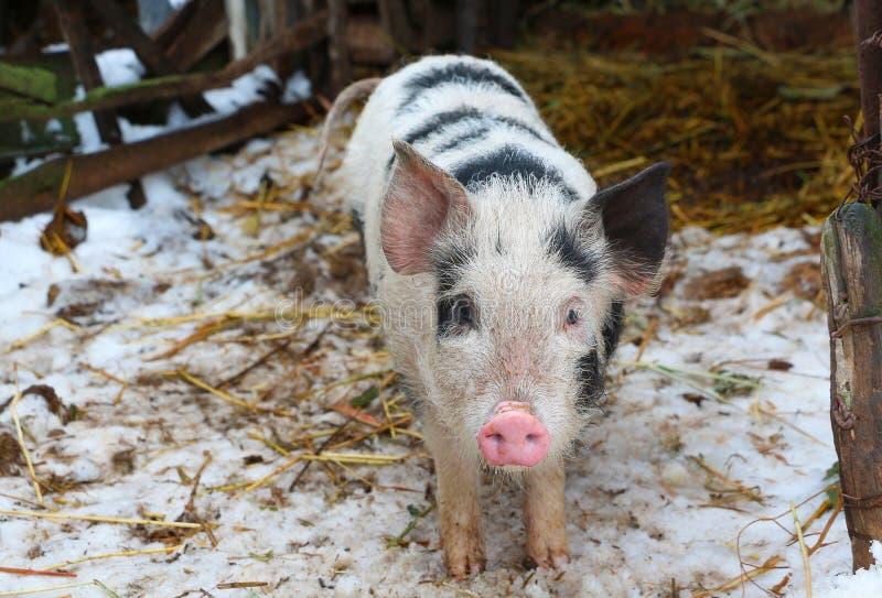 Черно-белая свинья на русской ферме стоковые фото