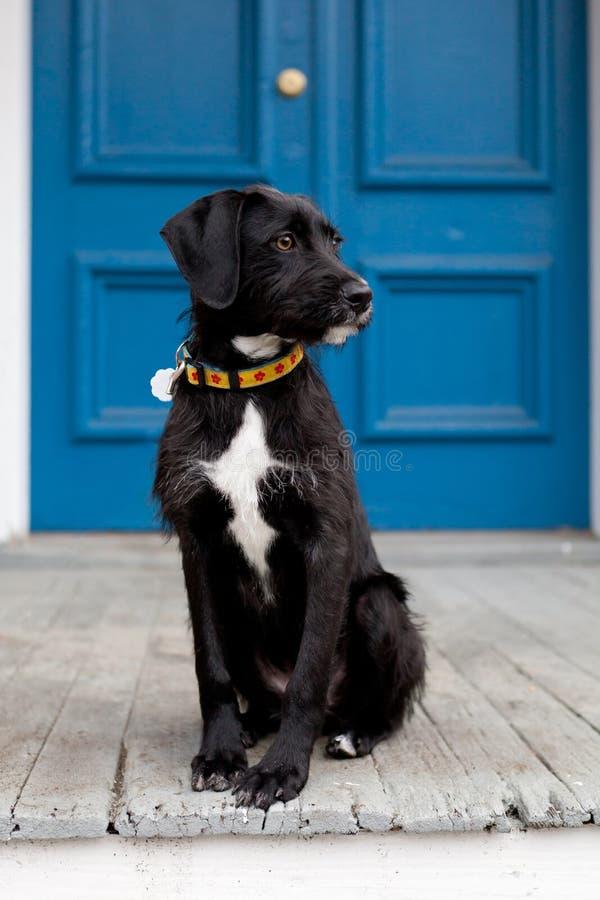 Черно-белая собака стоя перед голубой дверью стоковое изображение rf